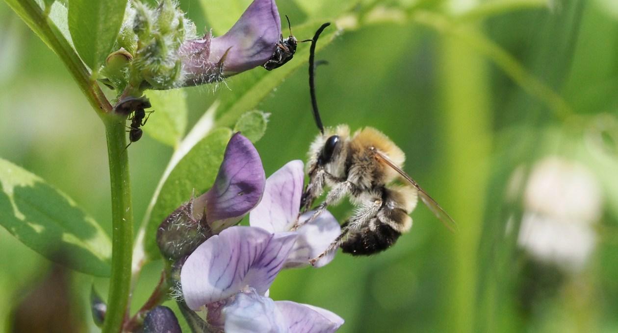 Männchen der Mai-Langhornbiene