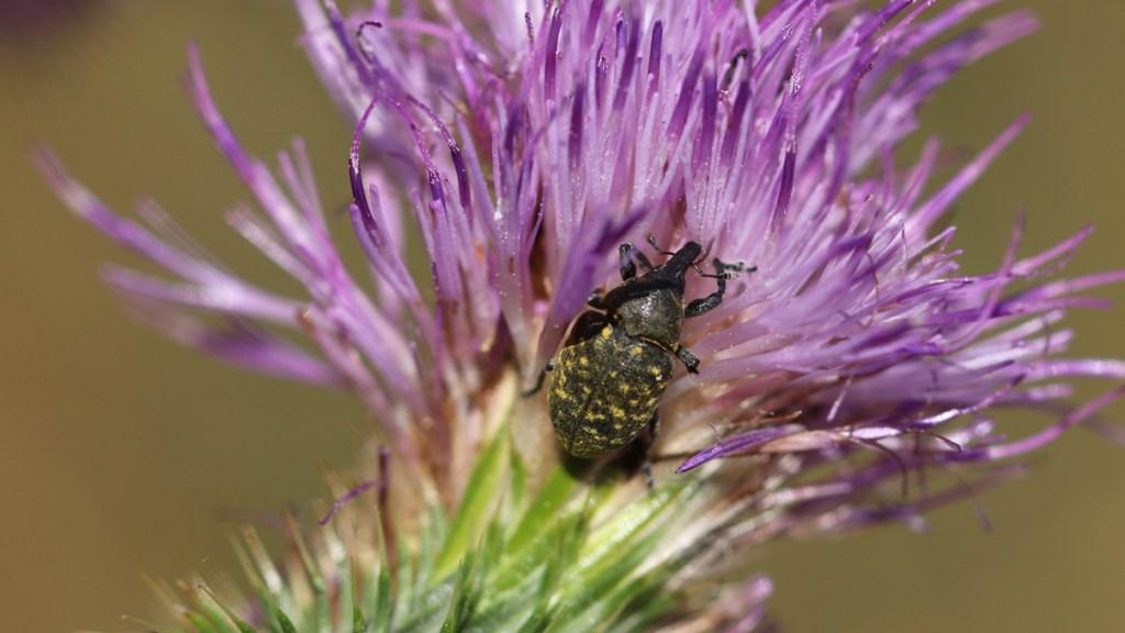 Kratzdistel-Rüssler auf der Blüte einer Gewöhnlichen Kratzdistel