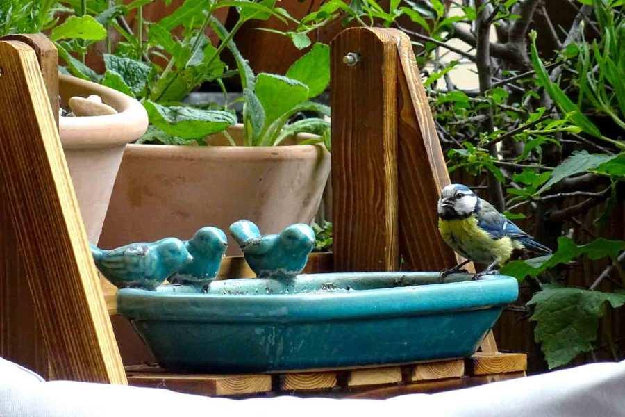 Blaumeise an der Vogeltränke auf Danielas Naturbalkon.