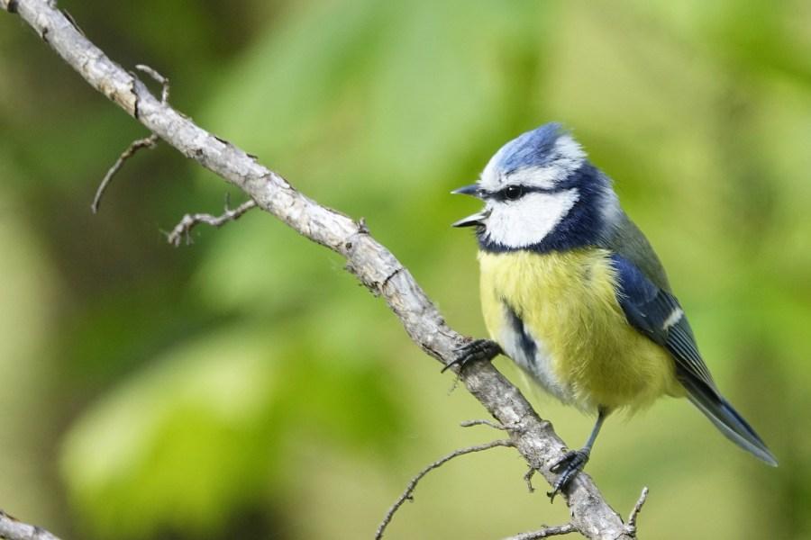 Blaumeise. Vogelstimmenhotline von Philipp Herrmann.