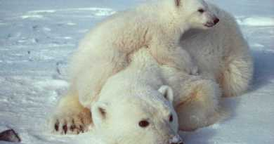 Polar Bears need to adapt - in more than one way