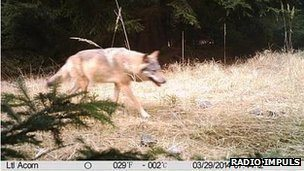 Wolf image captured by camera trap in Northern Bohemia, Czech Republic