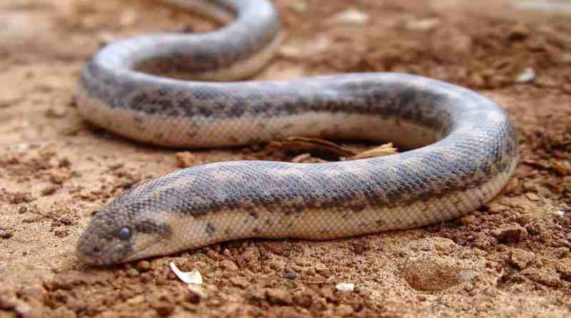 Javelin Sand Boa believed to be extinct since 1937 rediscovered in Romania