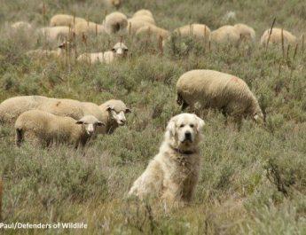 Killing more predators does not save livestock