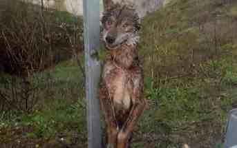 Cruel wolf kills across Europe