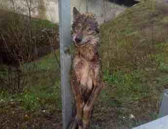 cruel-wolf-kills-across-europe.jpg - European Wilderness Society - CC NonCommercial-NoDerivates 4.0 International