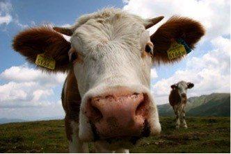 Zur Wandersaison: Respekt vor Kühen!