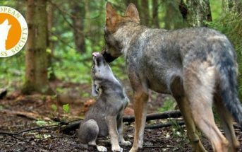 Wolves are sophisticated predators!