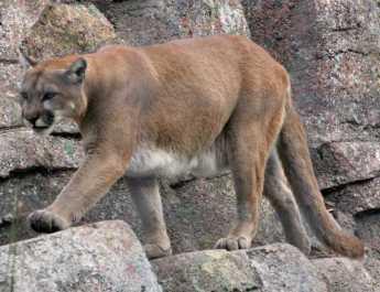 Mountain Lions return to Turkey, Europe