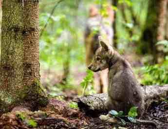 Grey wolf (Canis lupus) cub sitting, Seredskay, Vologda Oblast, Russia, July 2008