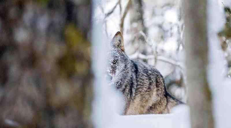 Grauwolf-hinter-Baumstammc-Wild-Wonders-of-Europe_Sergey-Gorshkov_WWF-1.jpg - © European Wilderness Society CC BY-NC-ND 4.0
