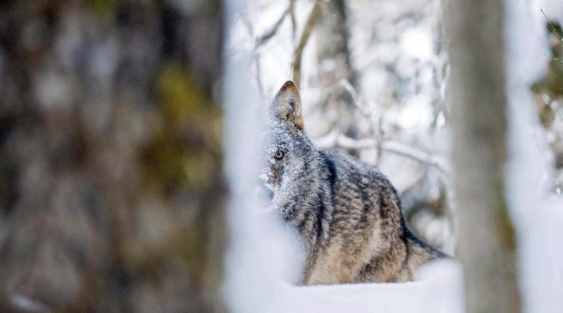 Grauwolf-hinter-Baumstammc-Wild-Wonders-of-Europe_Sergey-Gorshkov_WWF-1.jpg - © WWF All Rights Reserved