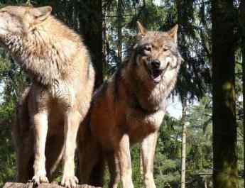 Online Petition to stop wolf killing in Germany