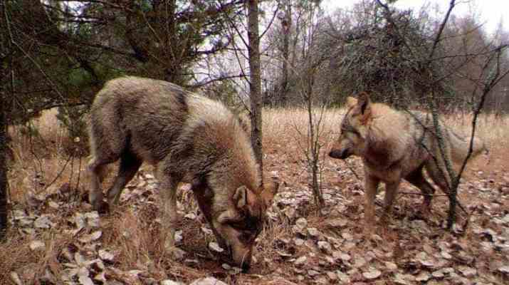 Chernobyl is to become a UNESCO Biosphere Reserve and a wilderness