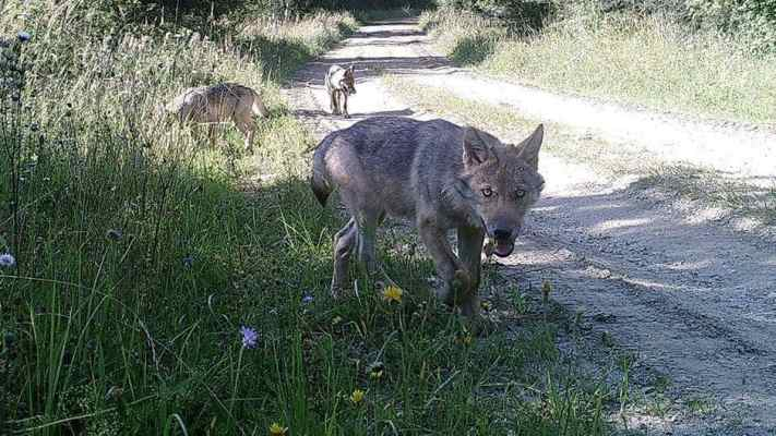 Wolf comeback in Austria and Hungary