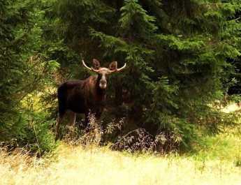 Moose as a part of European Wilderness!