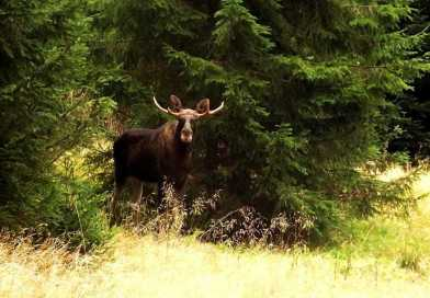 Can the elk reclaim Central Europe?