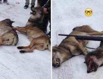 Poachers killing Wolves in the Kosovo