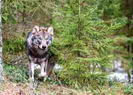 Germany reveals true costs of wolves