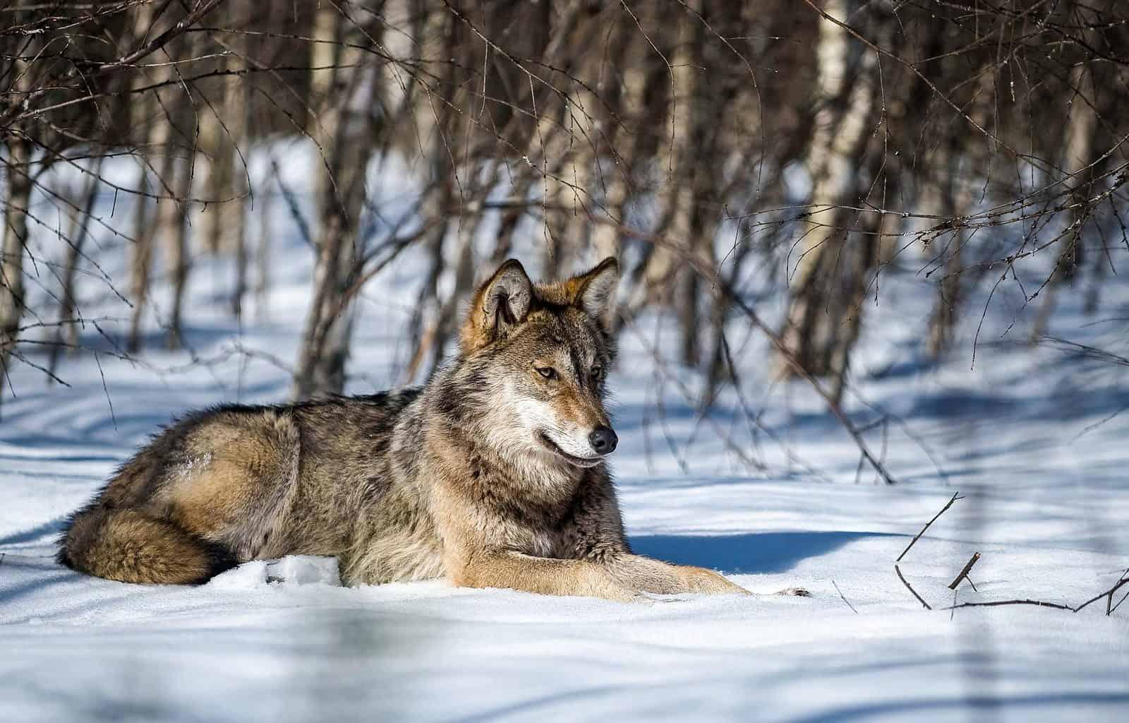 Grauwolf liegt im Schnee c Wild Wonders of Europe_Sergey Gorshkov_WWF.jpg - © WWF All Rights Reserved