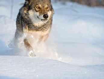 Grauwolf lÑuft durch Schneec Wild Wonders of Euorpe_Sergey Gorshkov_WWF.jpg - European Wilderness Society - CC NonCommercial-NoDerivates 4.0 International