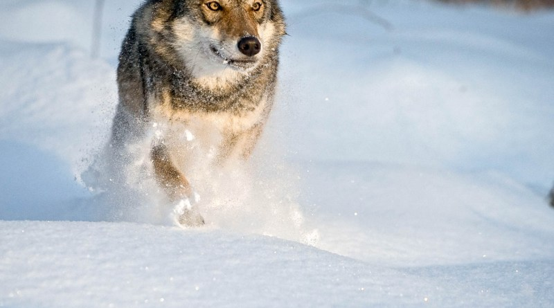 Grauwolf lÑuft durch Schneec Wild Wonders of Euorpe_Sergey Gorshkov_WWF.jpg - © WWF All Rights Reserved
