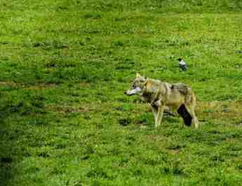 Second wolf pack in Austria