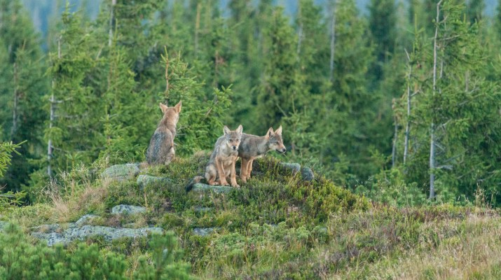 Wolf Slovakia 0002.dng - © European Wilderness Society CC BY-NC-ND 4.0