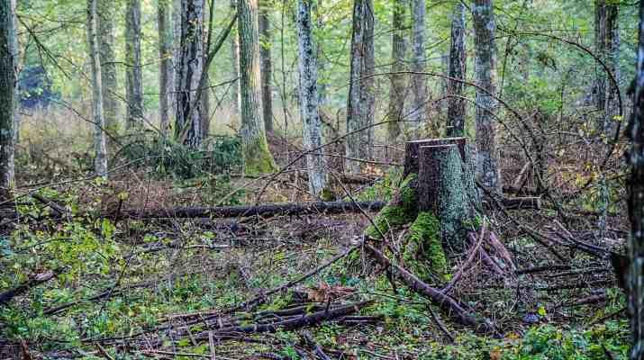 Bialowieza Logging - Mirosław Król