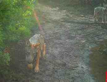 Wolf in Rome LIPU