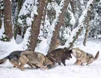 EWS - Wolves WWF -00218_.jpg-© Wild Wonders of Europe /Sergey Gorshkov / WWF