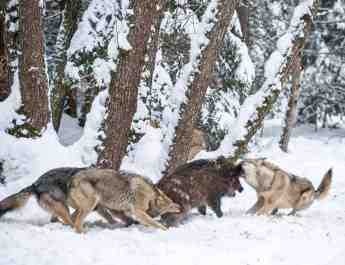 Grauwîlfe beim Jagenc Wild Wonders of Europe_Sergey Gorshkov_WWF.jpg - © WWF All Rights Reserved