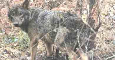 Wolf hunting Spain-14498.jpg - © CC BY-NC-ND 4.0