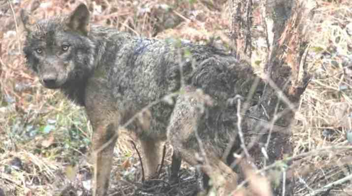Wolf hunting Spain-14498.jpg - European Wilderness Society - CC NonCommercial-NoDerivates 4.0 International