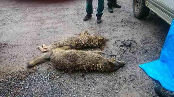 Wolf hunting Spain-14506.jpg - European Wilderness Society - CC NonCommercial-NoDerivates 4.0 International