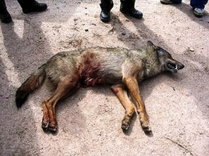 Wolf hunting Spain-14526