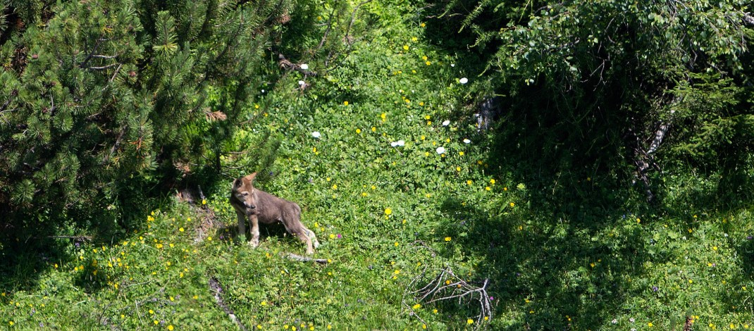 Join Peter Dettling's wolftours to Yellowstone