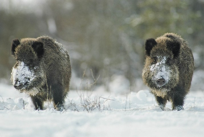 Wild Boar © All rights reserved