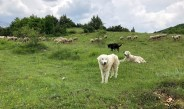 Wolf survival linked to livestock guarding dogs