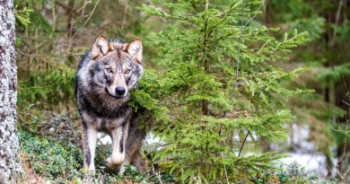 Grauwolf im Wald c Wild Wonders of Europe_sergey Gorshkov_WWF.jpg - © WWF All Rights Reserved