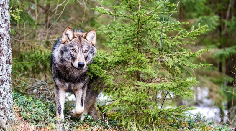 Grauwolf im Wald c Wild Wonders of Europe_sergey Gorshkov_WWF.jpg - © WWF All Rights Reserved