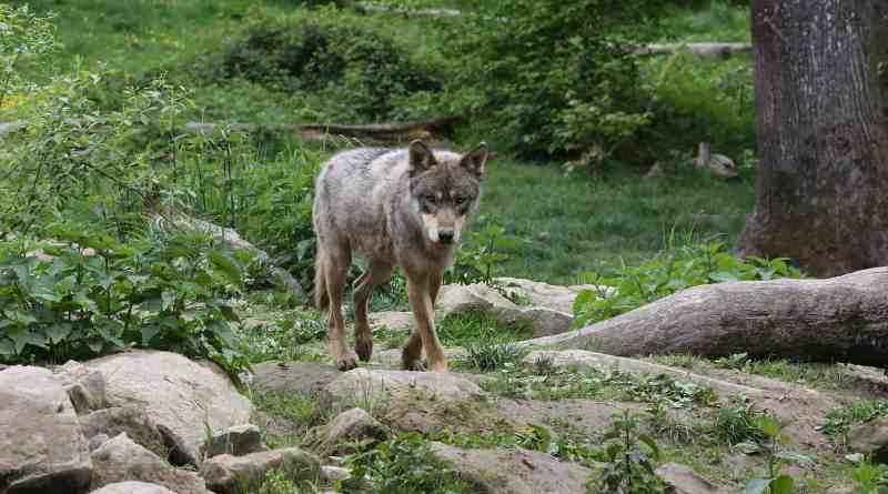 ParcAnimalierSainteCroix_05-2017_1490.JPG - © European Wilderness Society CC BY-NC-ND 4.0
