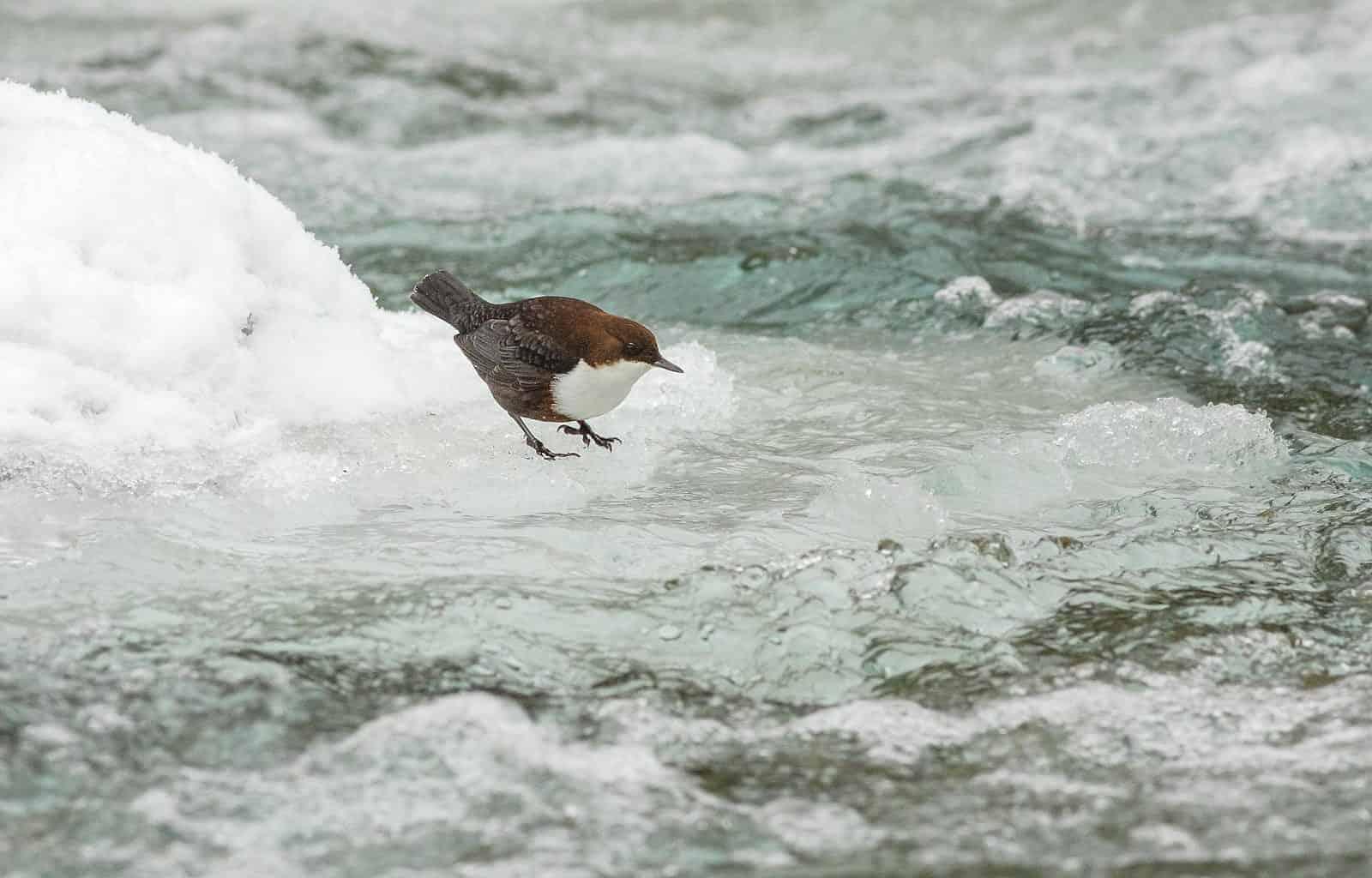 vodnr-poton-si-potravu-vyhadva-na-dne-potokov-a-riek_34765726950_o.jpg - European Wilderness Society - CC NonCommercial-NoDerivates 4.0 International