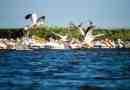 Danube_Parks_1094_White_pelicans_in_DDBRA_-_Cristian_Mititelu.JPG - © Danube Parks All Rights Reserved