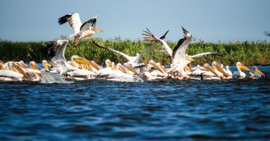 Danube_Parks_1094_White_pelicans_in_DDBRA_-_Cristian_Mititelu.JPG - © Danube Parks All Rights Reserved
