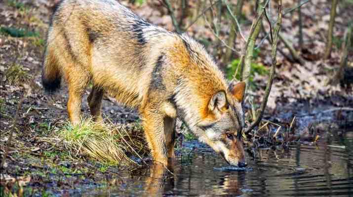 Grauwolf beim TrinkencH. Glader_4nature.jpg - European Wilderness Society - CC NonCommercial-NoDerivates 4.0 International