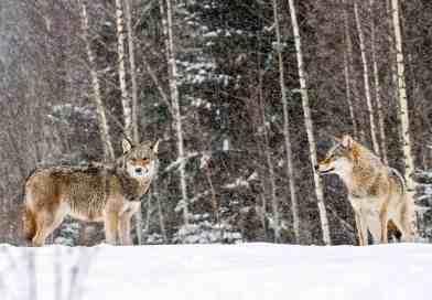 2 Grauwîlfe im Schneec Wild Wonders of Europe_Sergey Gorshkov_WWF.jpg - © WWF All Rights Reserved