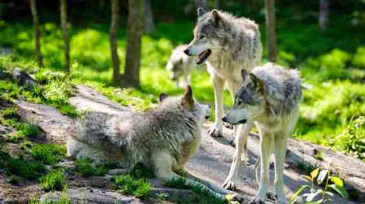 Wolf-fotolia_65774291.jpg - © Fotolia All Rights Reserved