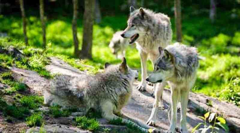 Wolf-fotolia_65774291.jpg - © Fotolia CC BY-NC-ND 4.0