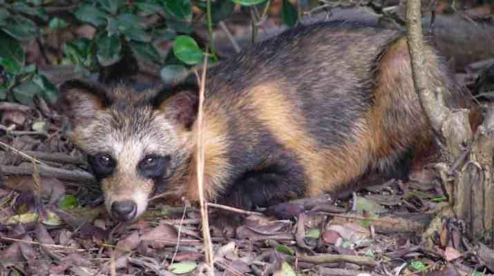 racoon dog -